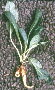 Donde comprar mandragora for Donde venden plantas